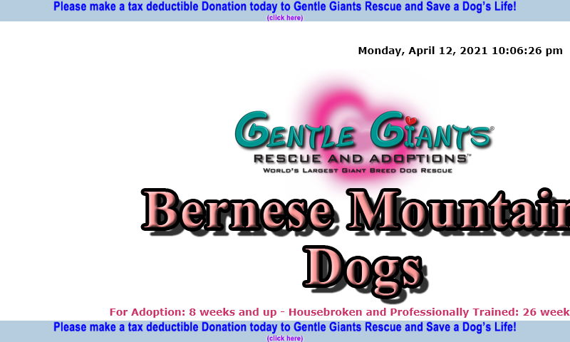gentlegiantsrescue-bernese-mountain-dogs.com
